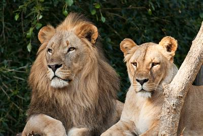 Coronavirus: 6 lions, 3 tigers test positive for COVID-19 at Smithsonian's National Zoo